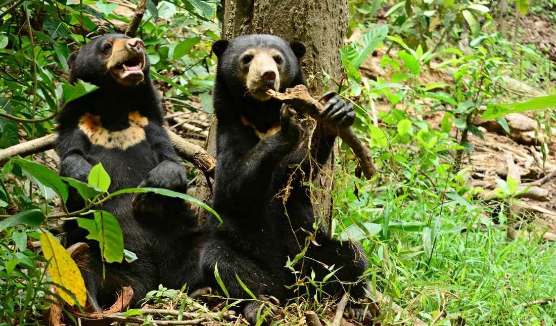 Sun bears, Malaysia. Photo:  BSBCC