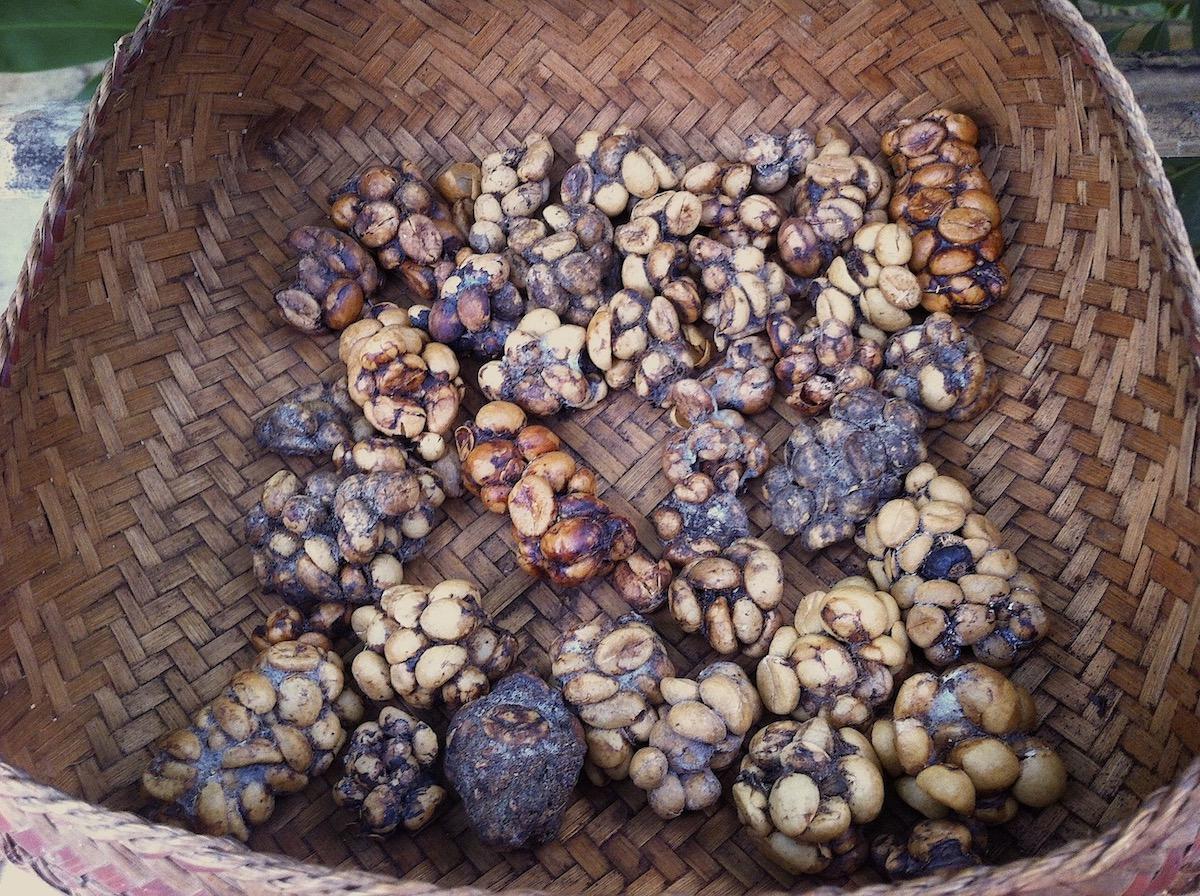 Fezes de civet contendo os grãos de café. Foto: Patti Neves