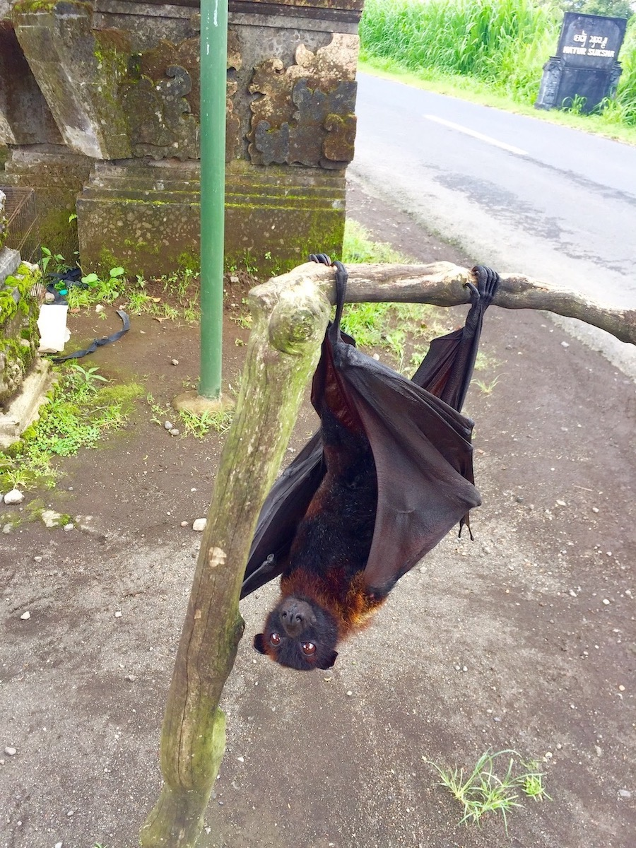 Flying-fox em Bali. Foto: Patti Neves