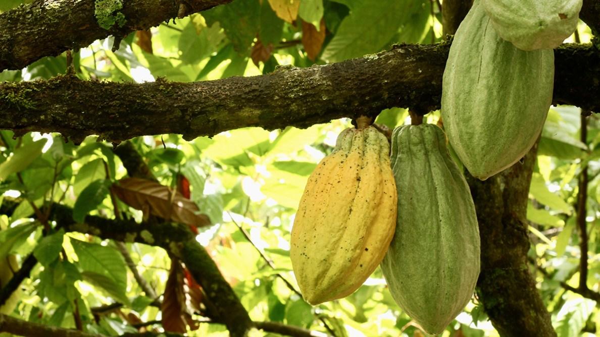 cocoa_bean.jpg