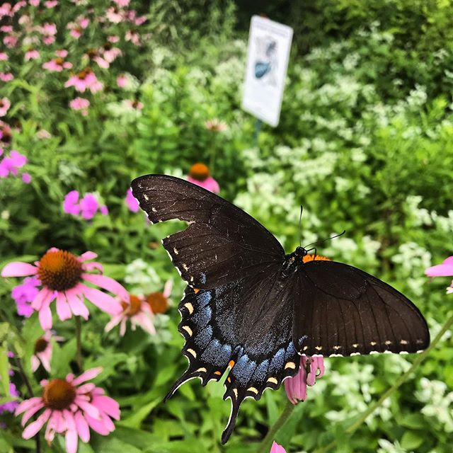 This Black Swallowtail looks to have had a rough time getting here, but is more than welcome at this front yard Monarch Waystation! #monarchwaystation #blackswallowtail #nativeplants