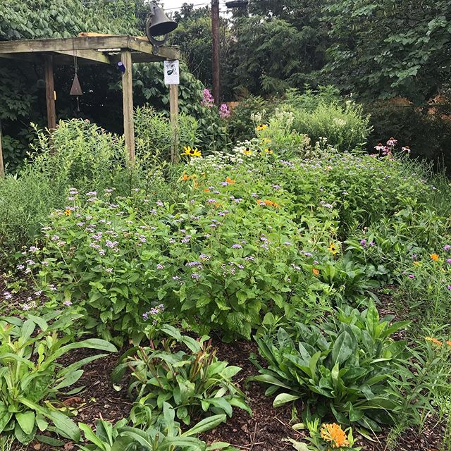 A beautiful morning to be spending time in this newly created monarch waystation. #monarchbutterfly #monarchwaystation #nativeplants #garden #gardendesign