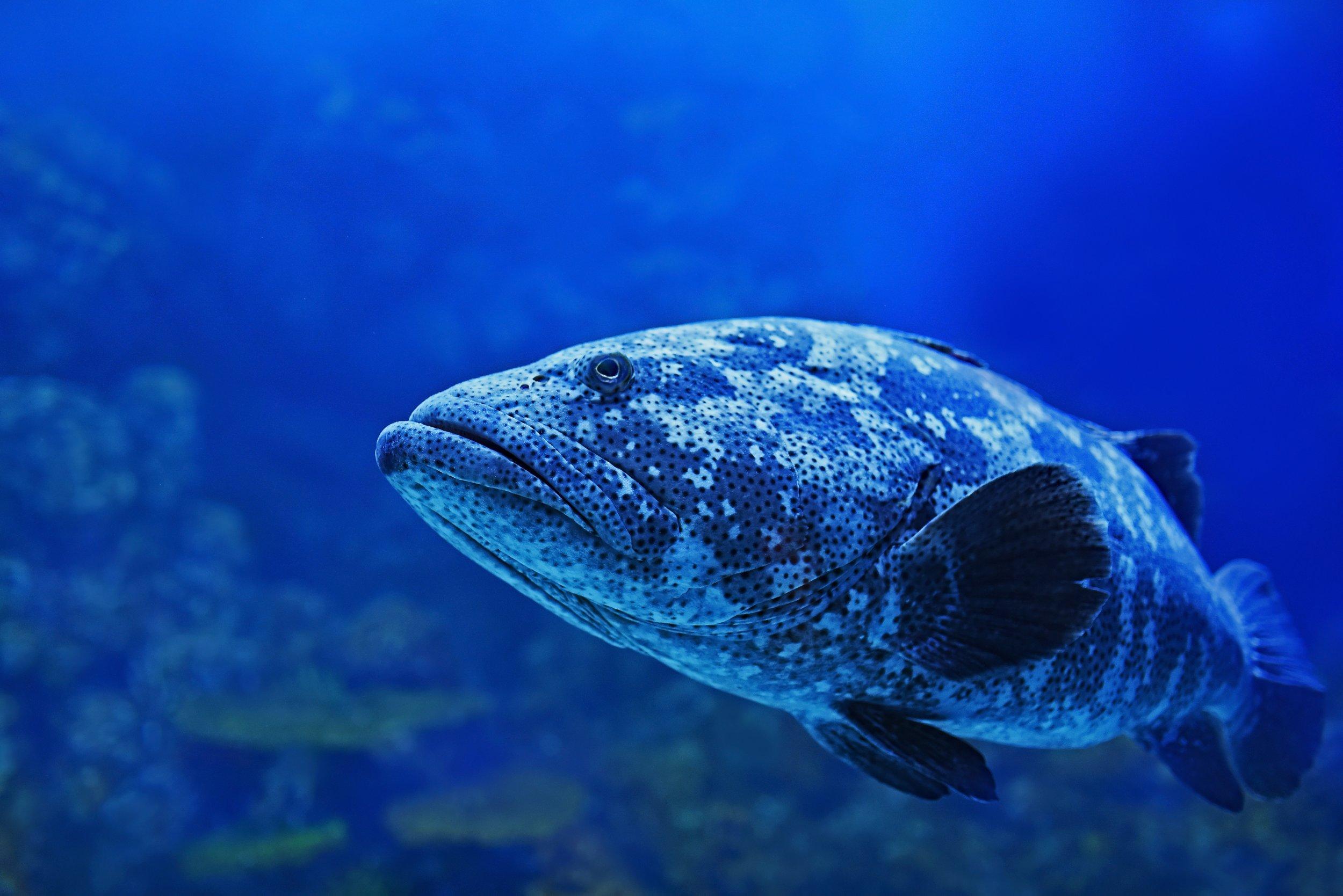Fish-Ella