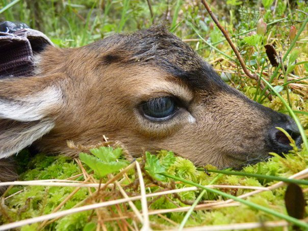 A sitka black-tailed deer fawn at birth