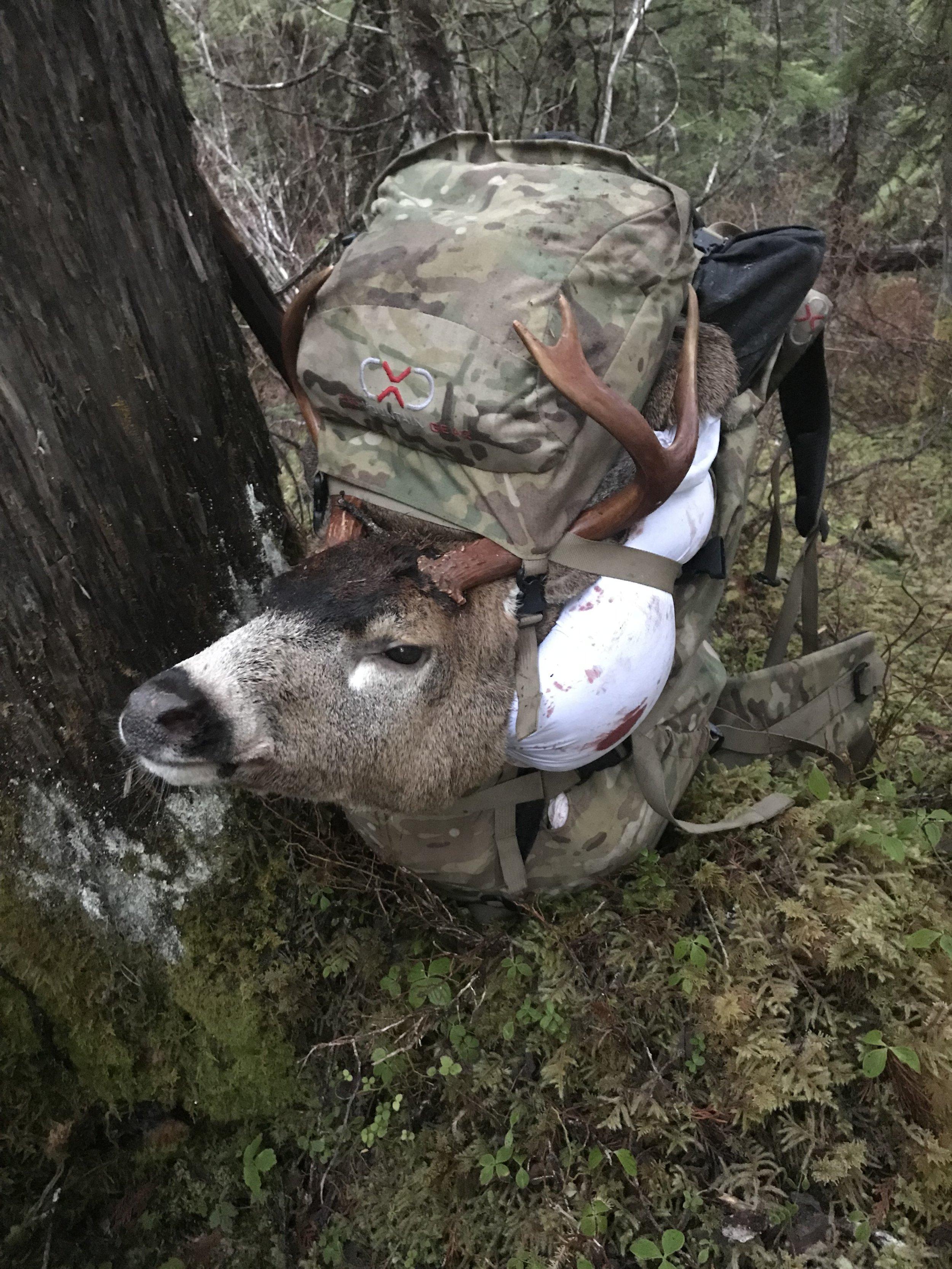 Sitka black-tailed deer buck
