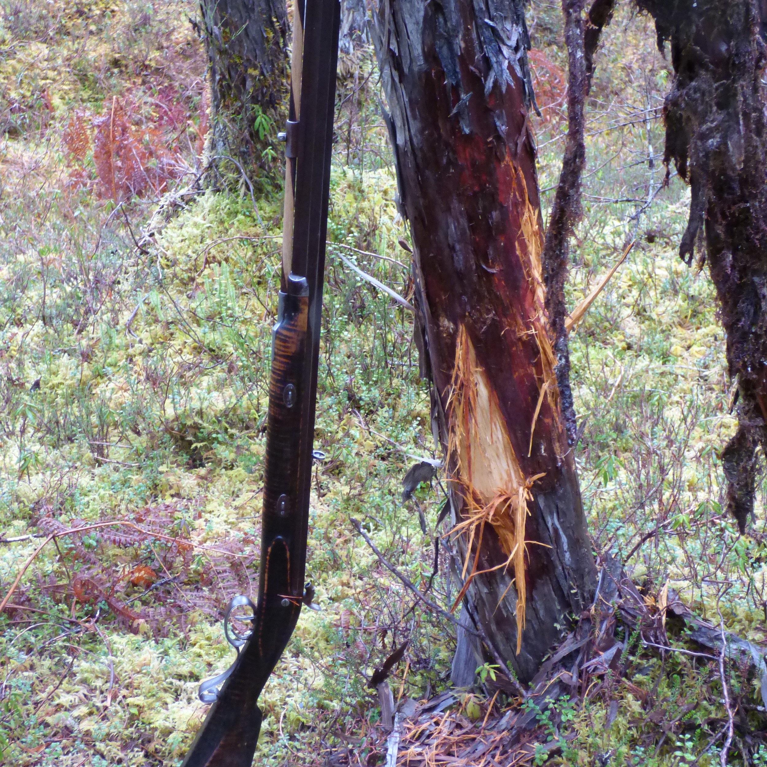 A Sitka black-tail buck rub on a cedar tree in Southeast Alaska