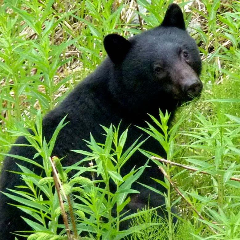 A young black bear foraging on fireweed