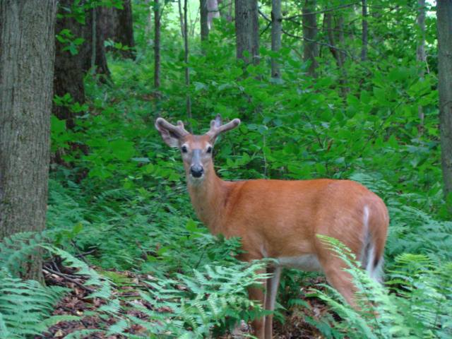 white tail deer.jpg