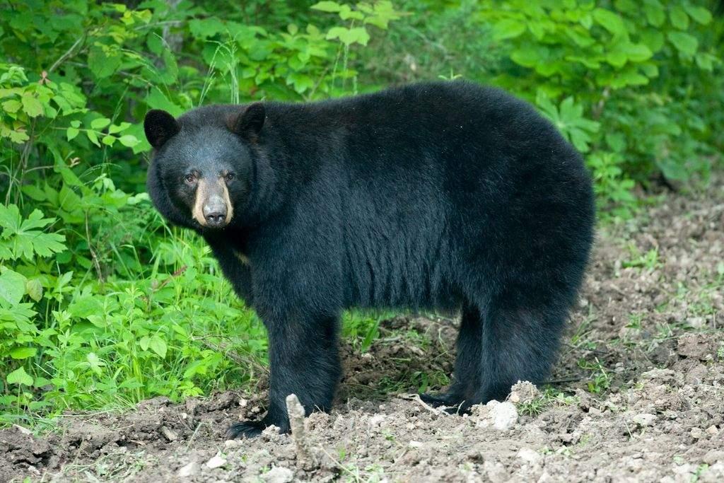blk bear.jpg
