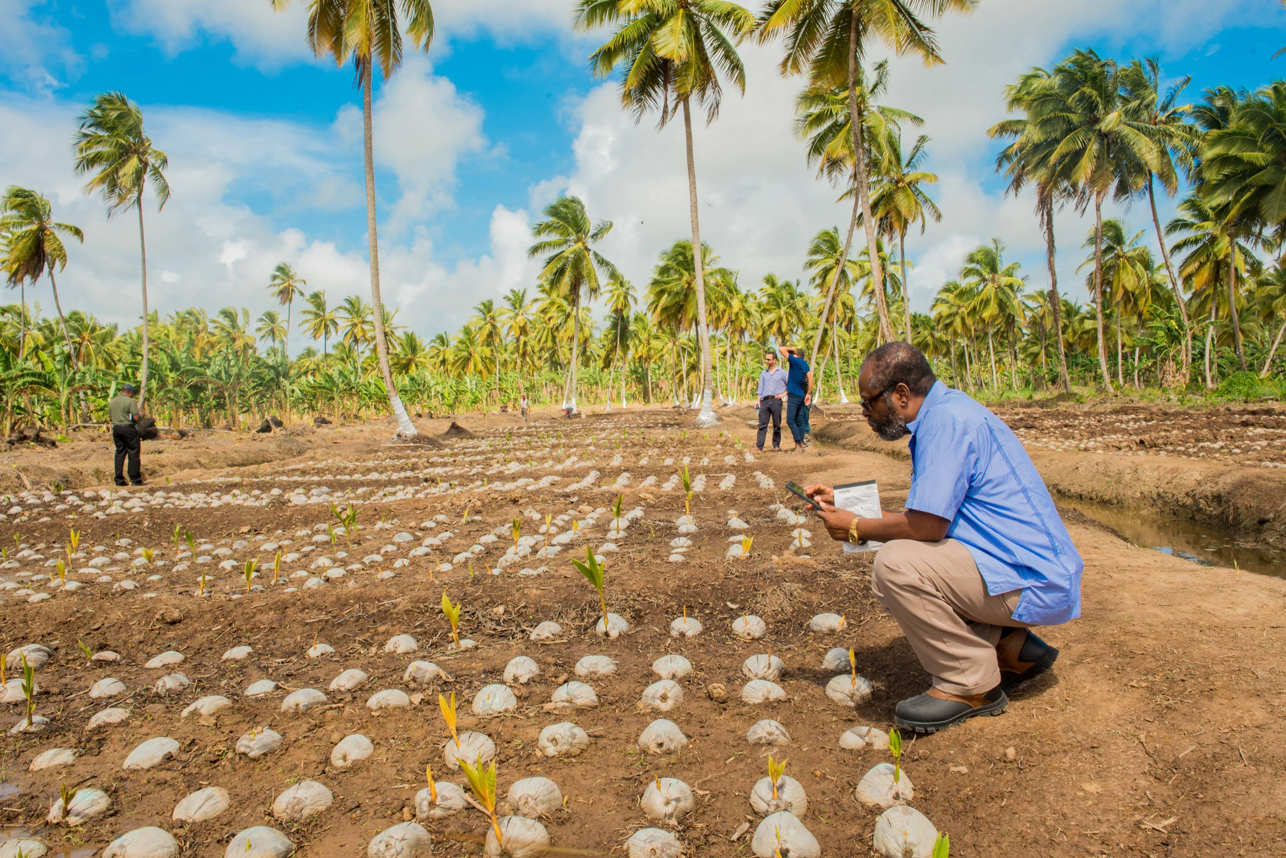 Dr Roberts of the Caribbean Agricultural Research and Development Institute (CARDI) inspecting hand-selected seednuts at the Pomeroon Seedling Nursery
