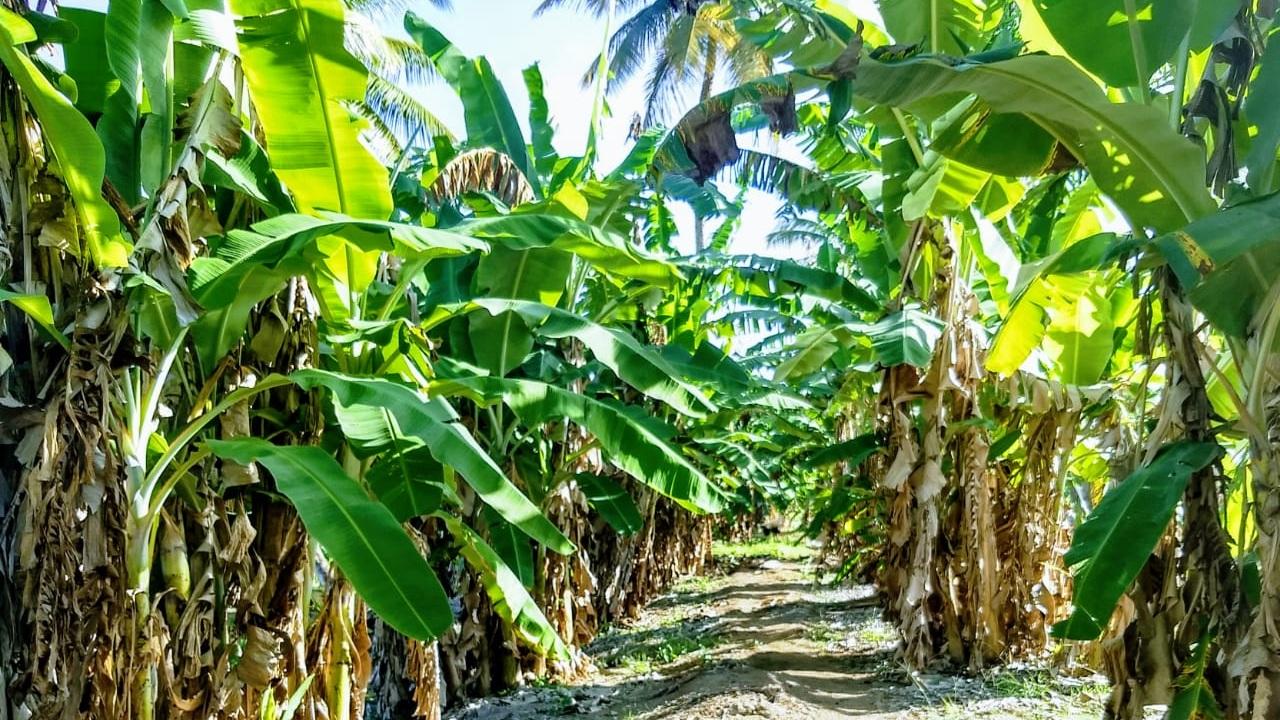 Pomeroon Bananas Guyana