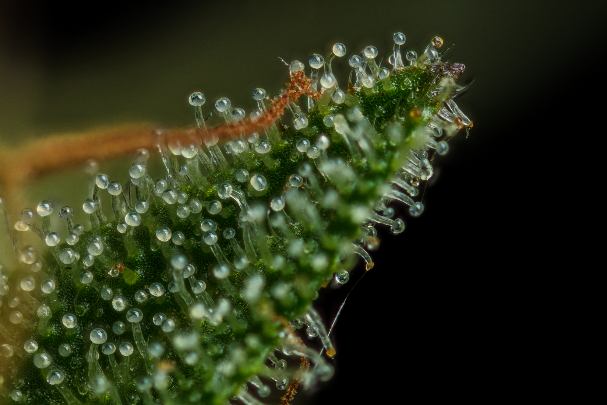 Trichome_2k.png