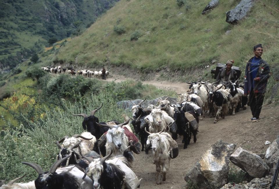 Salt traders - little goats carry bags with salt from Tibet
