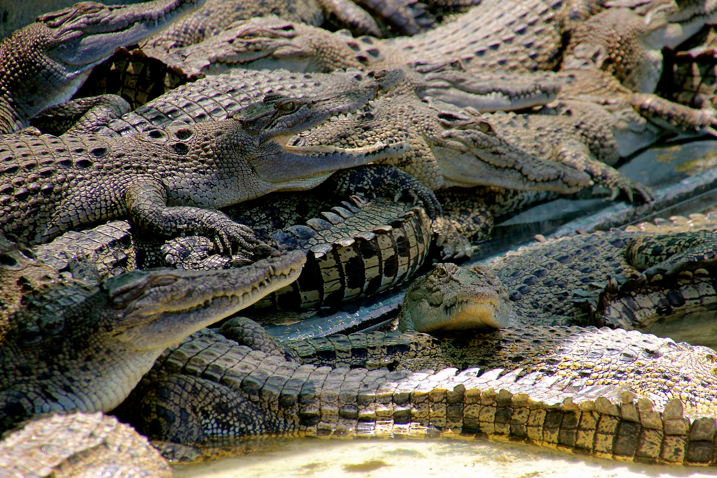 Crocodile farm near Port Douglas
