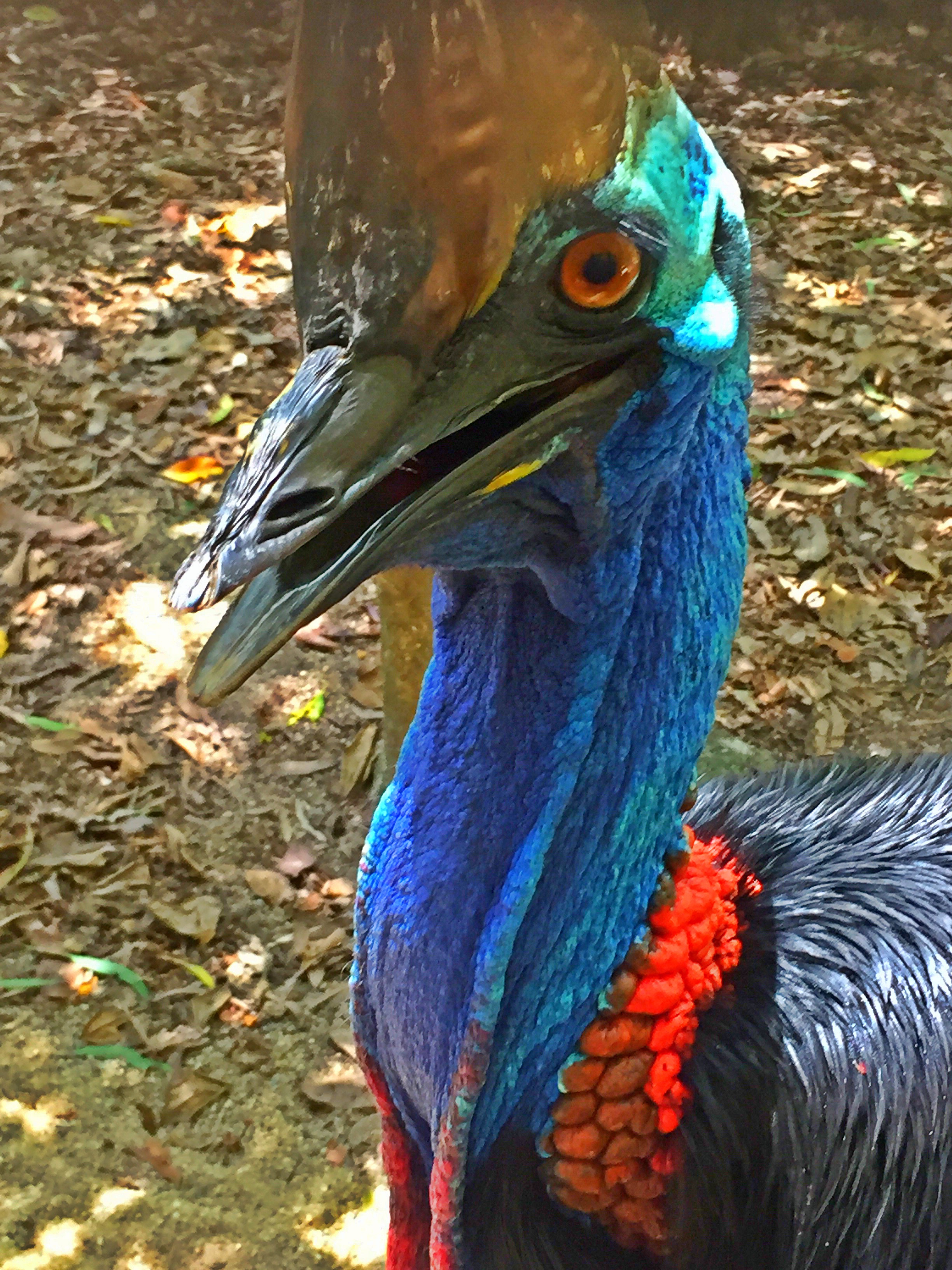Cassowary - a relative of the Kiwi bird