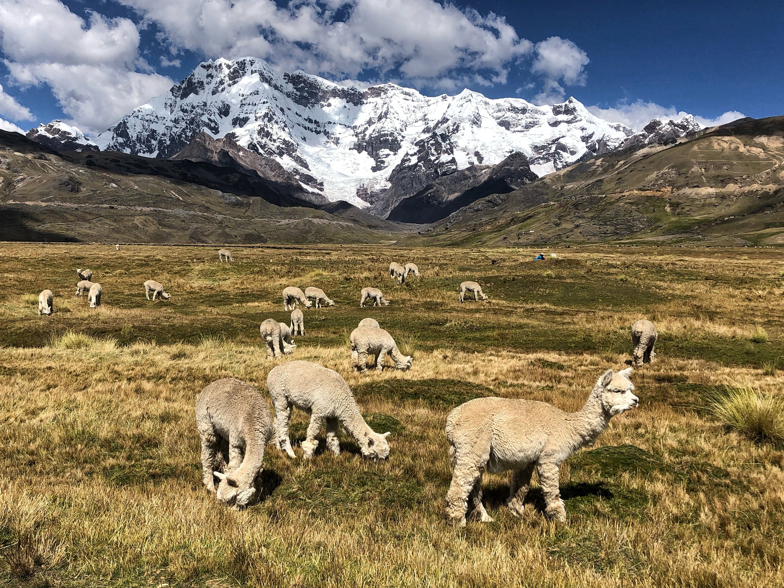 Alpaca and Mt. Ausangate