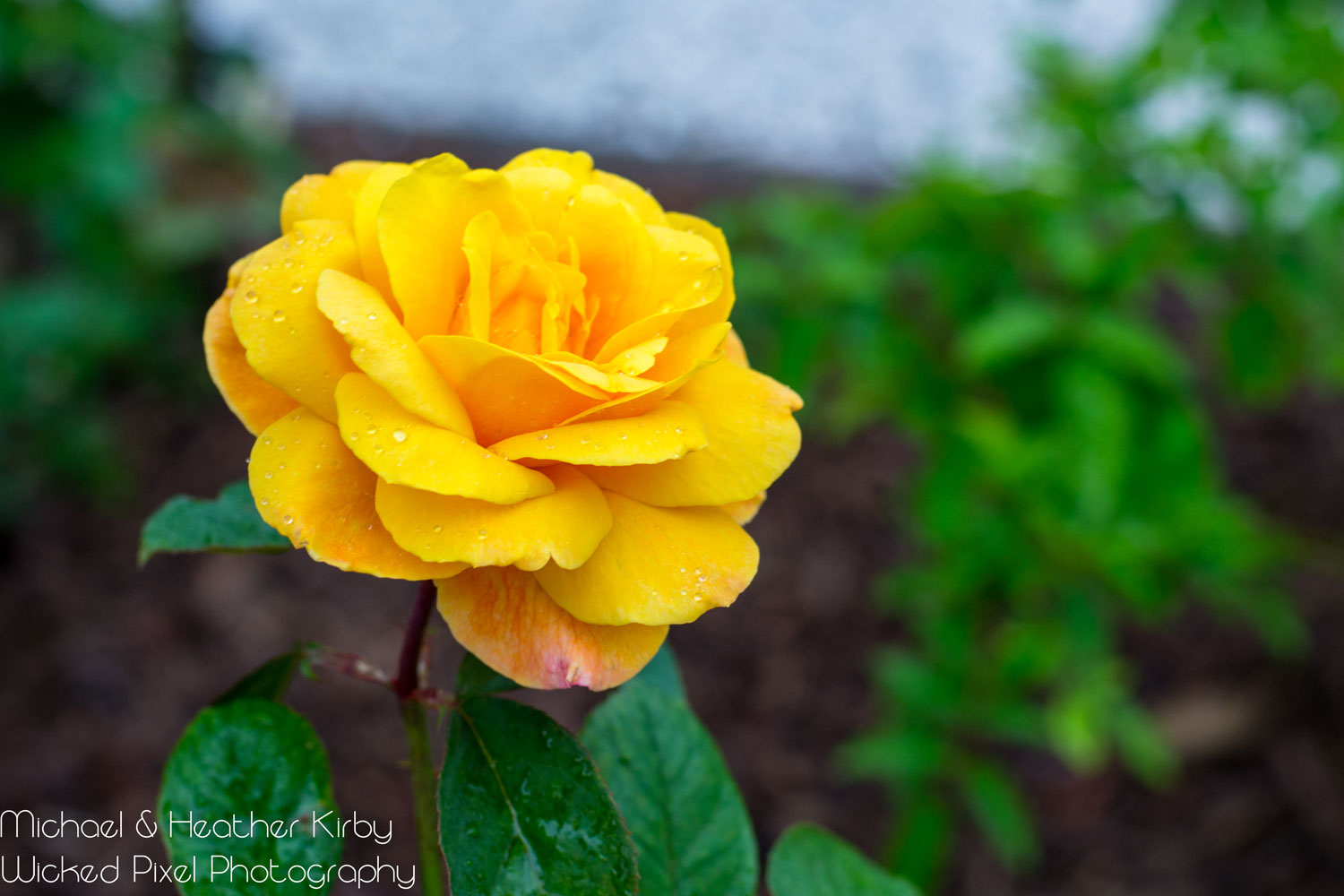 Yellow-Rose-of-Texas.jpg