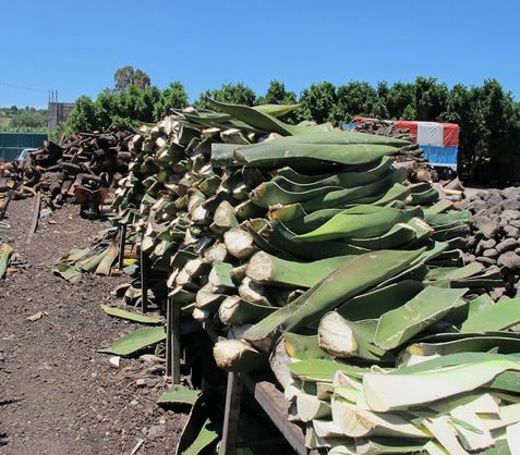 'Leña' and maguey leaves ready for the ovens