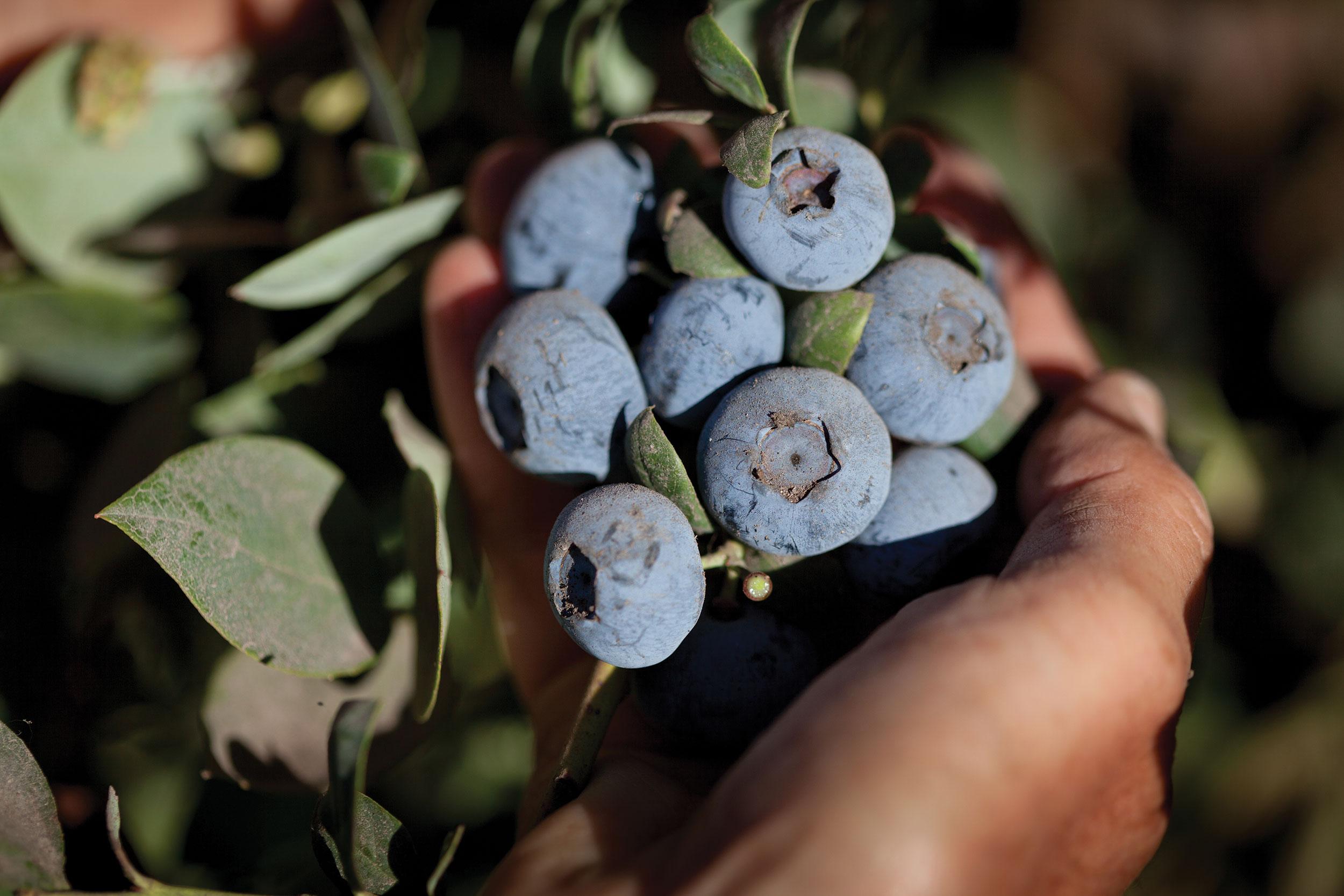 sfm_blueberries.jpg