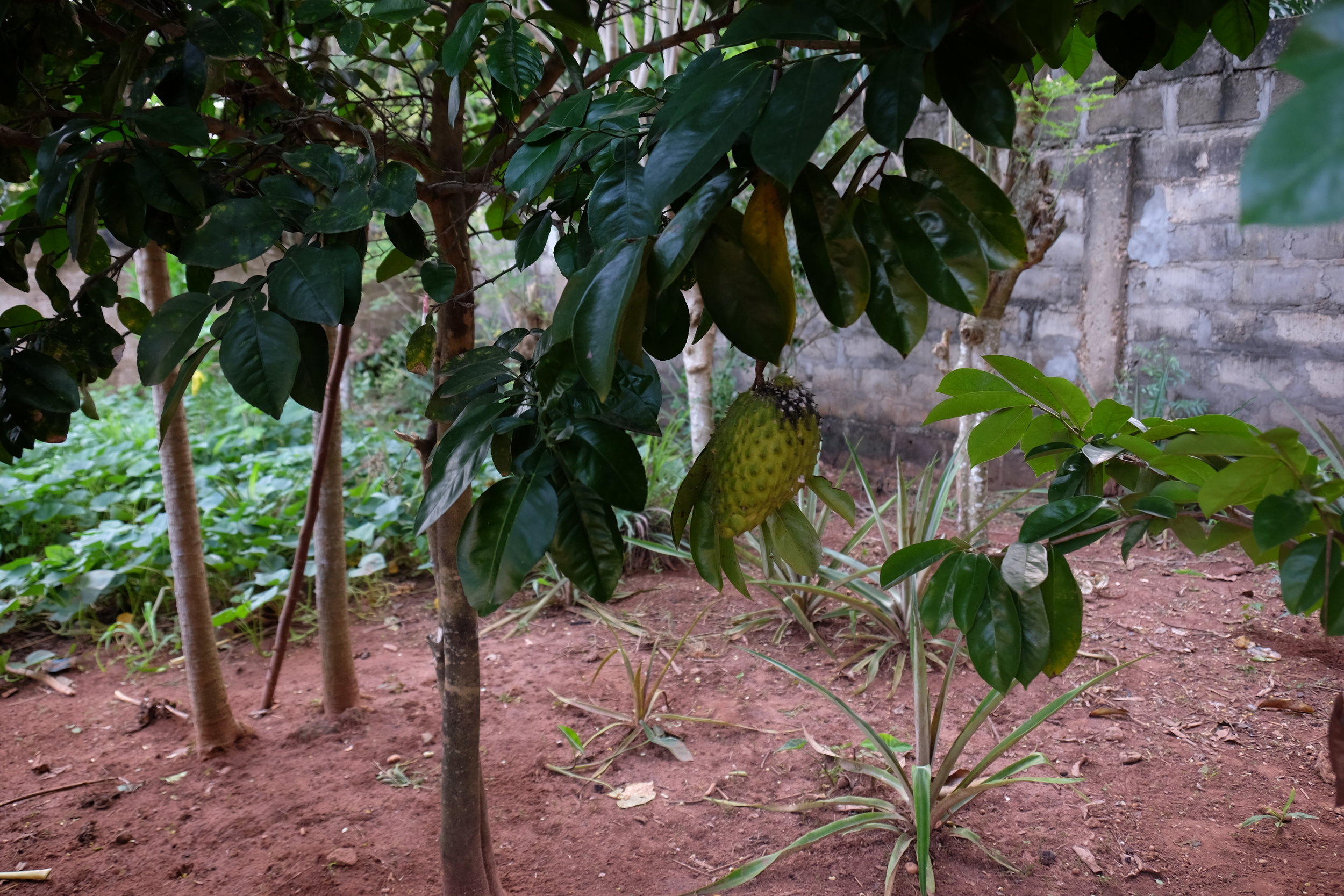 This fruit is called a  soursop , and it's one of the newer additions to the garden! It's surprisingly massive for how small the tree itself is, and it tasted really good—tart and sweet.