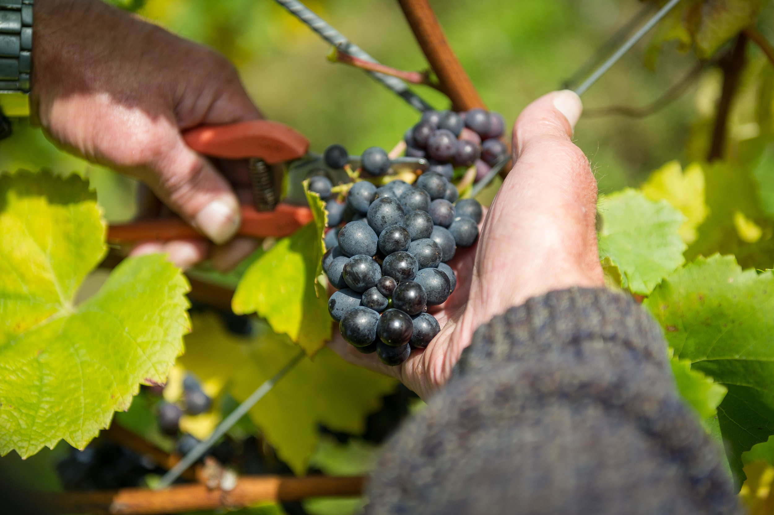 1. Grape Picking - Are put into 15kg - 20kg trays to avoid the grapes getting crushed prematurely.