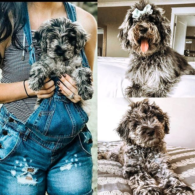 Goldendoodle and Irish Doodle Breeder in Chattanooga, TN