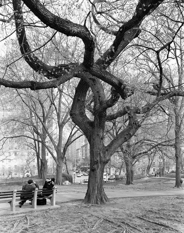American Elm, Central Park, New York 2011, 2011