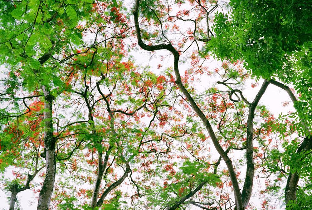 Flame Trees, Hanoi, Vietnam 1995, 1995