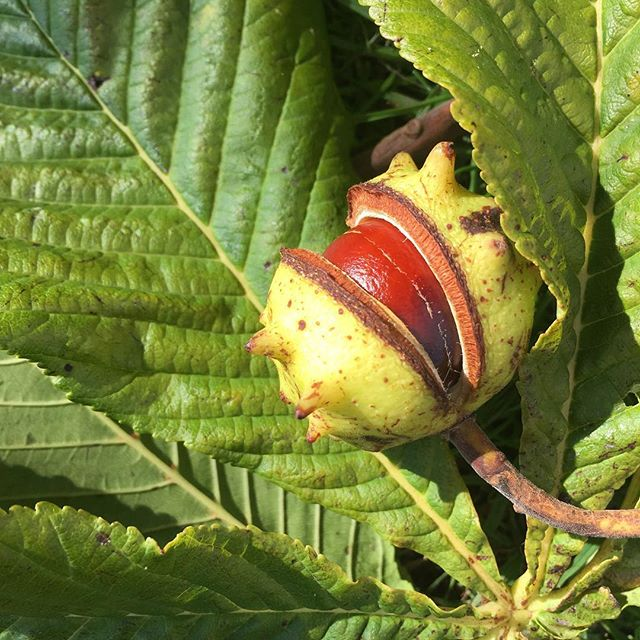 Conker Time!