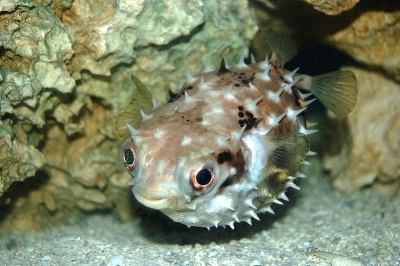 Pufferfish_(Butete).jpg