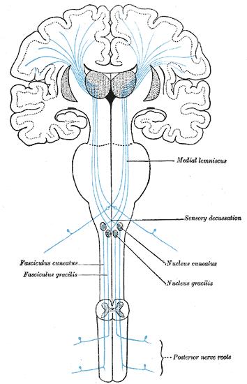 Dorsal Column Medial Lemniscus