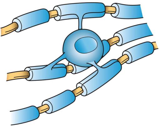 oligodendrocyte myelin