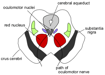 from https://en.wikipedia.org/wiki/Red_nucleus
