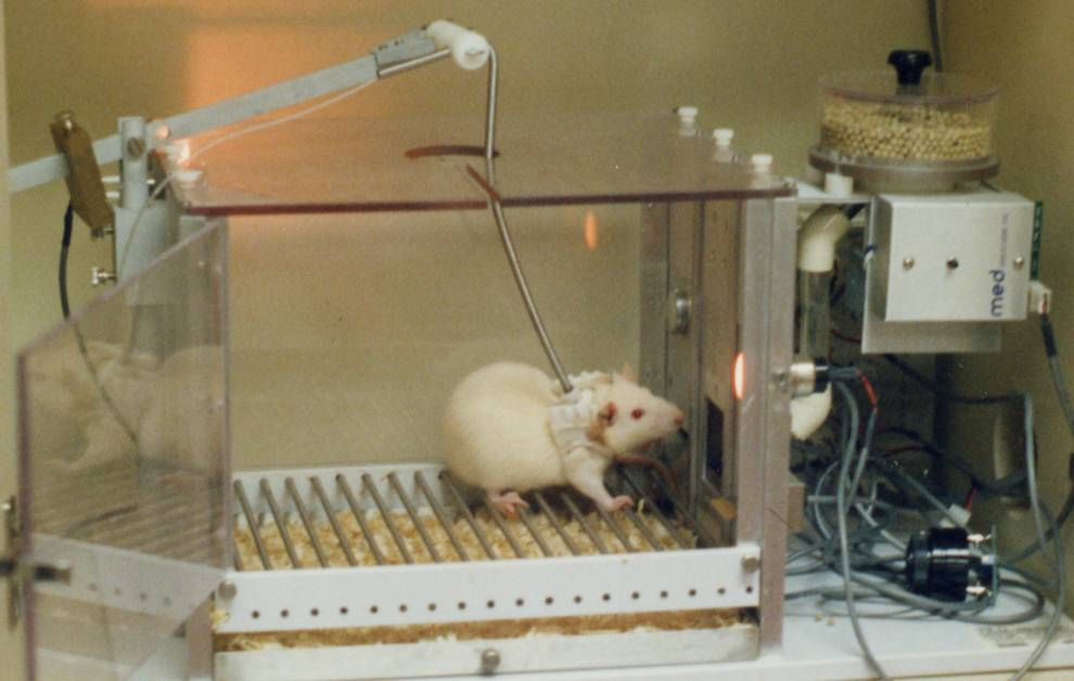 From https://www.ibtimes.co.uk/animal-rights-campaigners-slam-universities-which-give-cocaine-ecstasy-mice-guinea-pigs-1497251