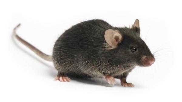 c57 black 6 mouse
