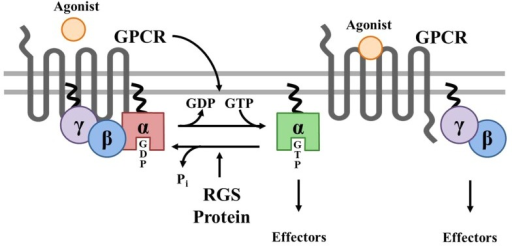 GTP in G-protein couple receptor
