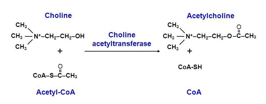 choline acetyltransferase enzyme reaction