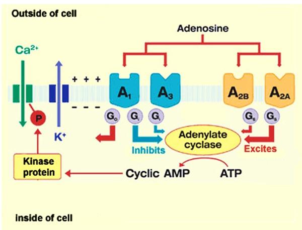 adenosine receptor g protein