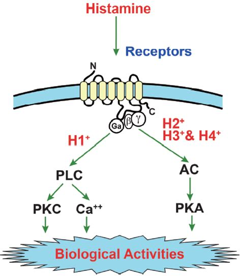 histamine receptor neuron physiology