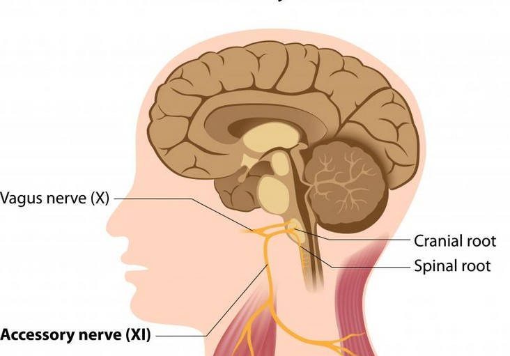 vagus nerve cranial nerve x
