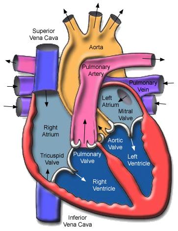 transcardial perfusion heart fixative paraformaldehyde