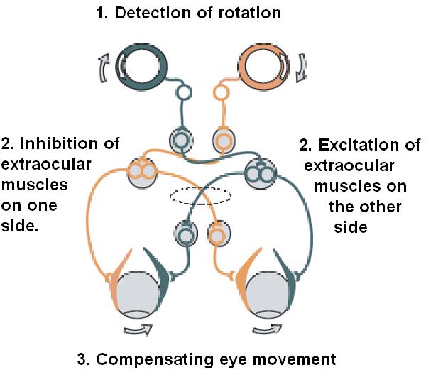 vestibulo ocular reflex alcohol lag vision