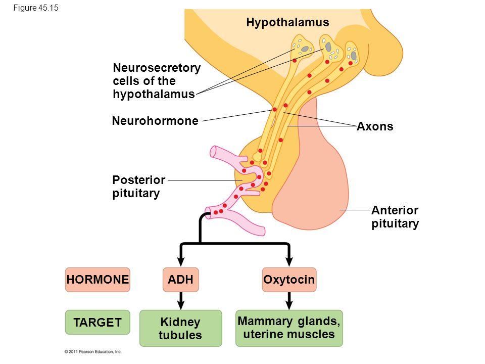 neurohormone release vs neurotransmitter