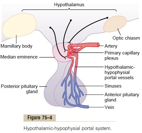 hypothalamus portal system bloodstream neurohormone