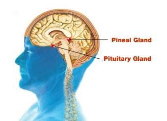 pituitary pineal gland neurohormone