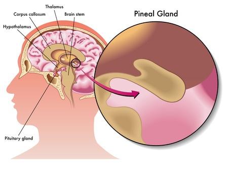 pineal gland circumventricular organ neuroanatomy