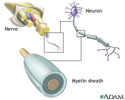 pmp22 myelin charcot marie tooth