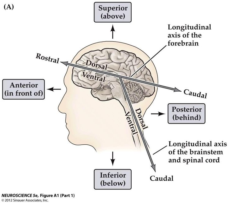 anatomy language brain central nervous system