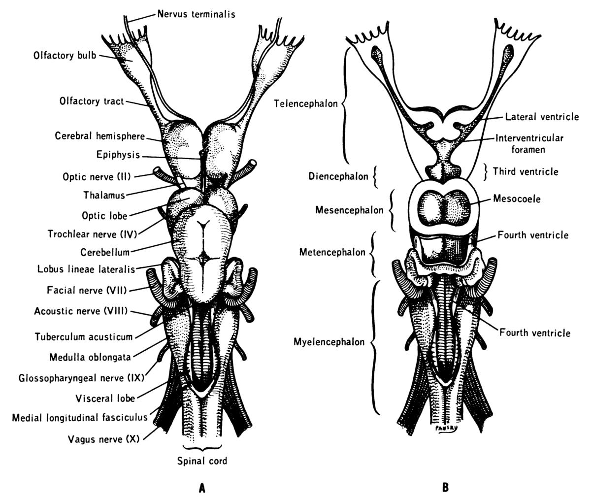 nervus terminalis cranial nerve 0