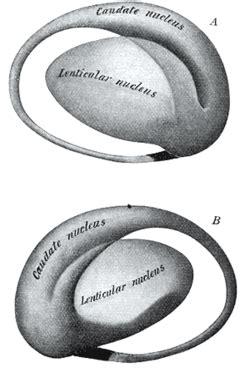 lentiform nucleus structure.jpg